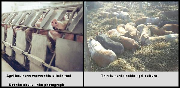 Industrial vs sustainable pigs