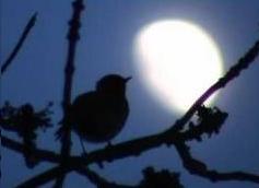 Moonlight robin
