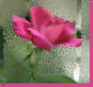 Rose thru rain
