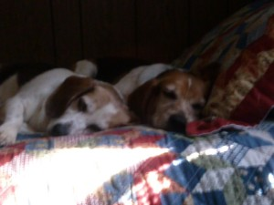Tired Beagles